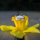 Wedding Rings on a Daffodil